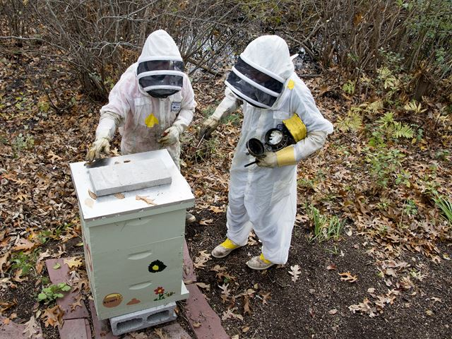 Student and supervisor harvest local bee hive